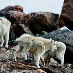 "....unterwegs ""White Mountain Goats...."
