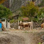 .....auch für die Kühe gibt es keinen Stall - das Klima lässt dies auch zu......