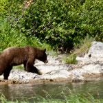 Dieser Grizzly kam uns entgegen