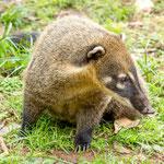 ...diese ehemals wilden (Nasenbären) sind nur auf Futter auf - und beissen hin und wieder böse zu...