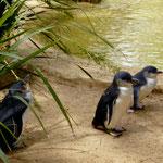 die kleinsten Pinguine