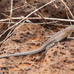 ....Galapagos Lava Lizard....