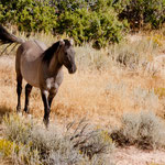 "ein wilder Mustang im ""Pryor Mountain Wild Horse Range"""