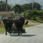 Pferde, Esel und Ochsen beherrschen die kubanischen Strassen