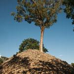 ....unglaublich - dieser große Baum wächst auf der Pyramide....