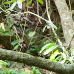 """kaum zu sehen der grüne Piepmatz - aber dies ist der """"heilige Vogel"""" der Mayas (gewesen)"""