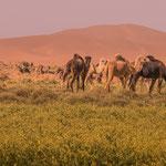 Der seltene Regen hat die Wüste plötzlich grün werden lassen. Alles voller blühender Rucola. Ein Schmaus für die Kamele...