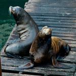 """Seehunde leben hier ganz gut vom """"Fischabfall""""...."""