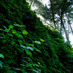 Fern Canyon - üppig grün....