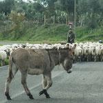 Das Schauspiel Esel gegen Schafherde auf der Autostrasse - man braucht Zeit im schönen Sardinien