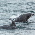 ...haben uns viele Delfine begleitet und und unterhalten - tolle Tiere...