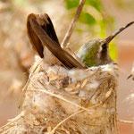 Kolibri Nest mit brütendem Kolibri ....