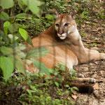 .....ein Puma....oder Berglöwe.....oder Cougar.....