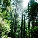 Der Redwood Wald ist beeindruckend und mystisch....