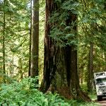 """Gegen diese riesigen Redwoods erscheint unser """"Baby"""" wie Spielzeug"""