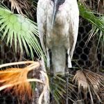 ....ein Storch....der größte Vogel Zentralmerikas.....