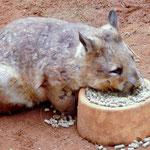 "Ein ""hairy nosed wombat"""