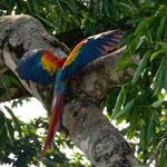 Wird als einer der schönsten Vögel der Welt bezeichnet