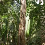 ....diese Schlingpflanze - ein Schmarotzer - tötet am Ende den Wirt.....
