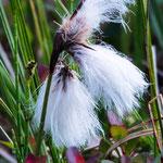 Eine Blüte die an Baumwolle erinnert