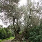 Olivenbäume - werden über tausend Jahre alt