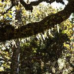 ....und die Bäume sind moos- und farnbehangen....