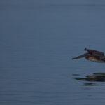 Pelikane schweben oft nur Zentimeter über das Wasser
