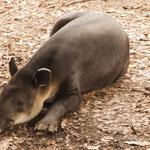 ....Tapir....das Wappentier von Belize....