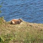Ein Carpincho - ein Wasserschwein - oder das größte Nagetier der Welt...