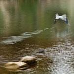 Ein Pelikan hebt ab