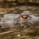 Auge in Auge mit dem Croco - nur nicht zuuu nahe kommen