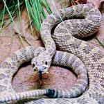 """Im berühmten """"Rattle Snake Museum""""...."""