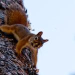 Überall freche Eichhörnchen