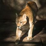 ...ein Puma...