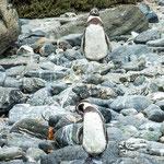 "...sowie die Herrn Humboldt benannten ""Pinguine de Humboldt""..."