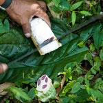 ....in diesem Reifegrad kann man die Kakaofrucht fast noch komplett roh essen....