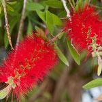 .....tropische Blüte.....