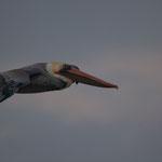Der Schnabel ist fast so lang wie der Körper - und er kann trotzdem fliegen