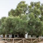 ...ein so riesiger Olivenbaum übersteht auch die schlimmste Trockenheit...