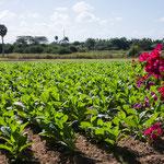 Die Gegend um Vinales erzeugt den besten Tabak Kubas....