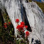 """Wildblumen am """"Mount St. Helen"""" in Hülle und Fülle ..."""