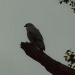 ....und hier ein Falke....