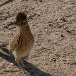 "Ein putziger ""roadrunner"" in Desert Hot Springs in Californien"