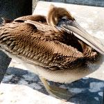 """Junger Pelikan beim """"Trocknen"""""""