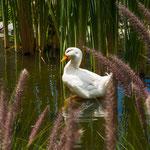 ....auch für diese chinesischen Enten ein Paradies