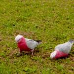 """Diese bunten """"Kerlchen"""" leben in freier Natur in Sydney"""