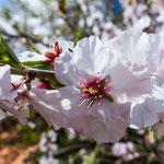 ...die Mandelblüte fängt gerade an...