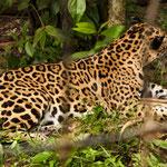 ....ein wunderschöner Jaguar.....