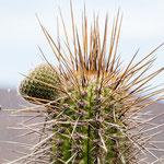 ...die nächsten Bilder zeigen die Fauna der Wüste Chiles...