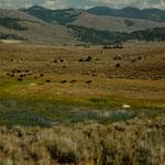 ....ist bevölkert von wilden Bisons....